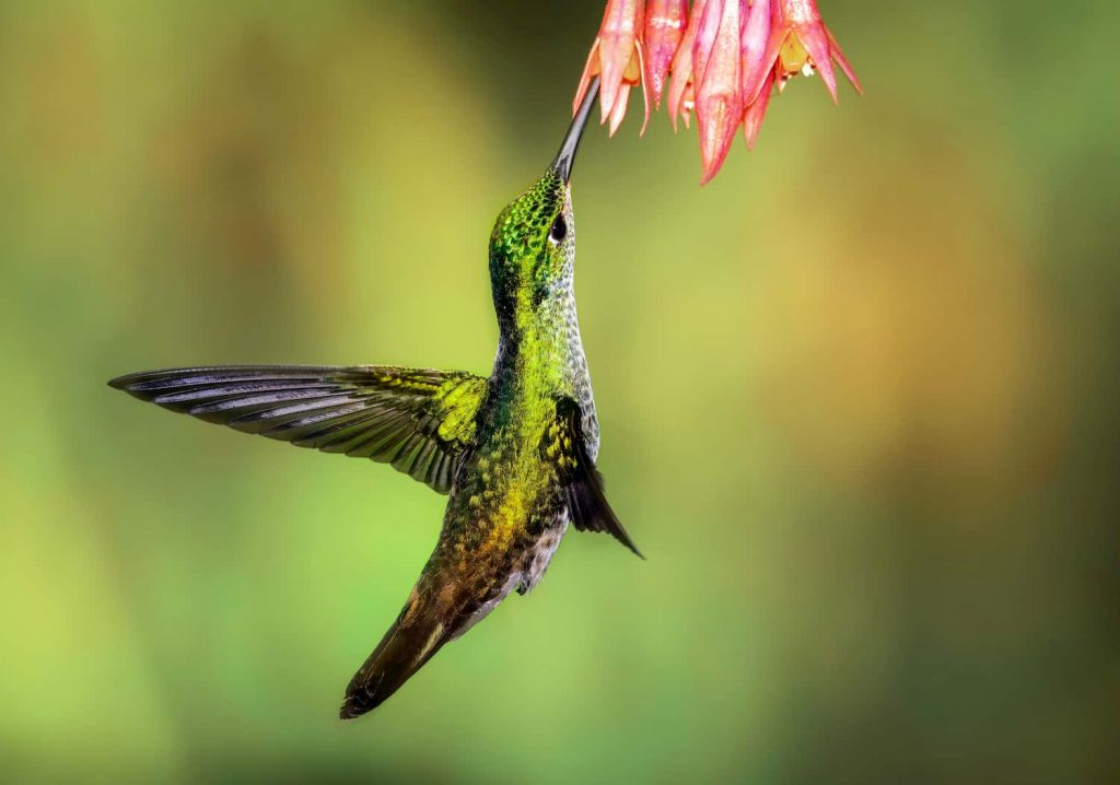 Anna's Hummingbird is one of the fastest animals in the world.