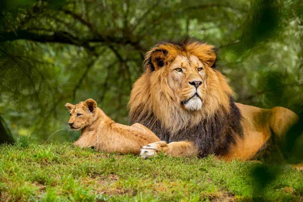 Lion is in the top 20 of the fastest animals in the world.