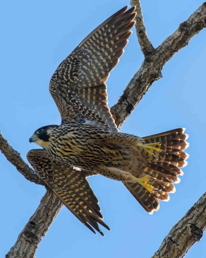 One of the fastest animals in the world is peregrine falcon
